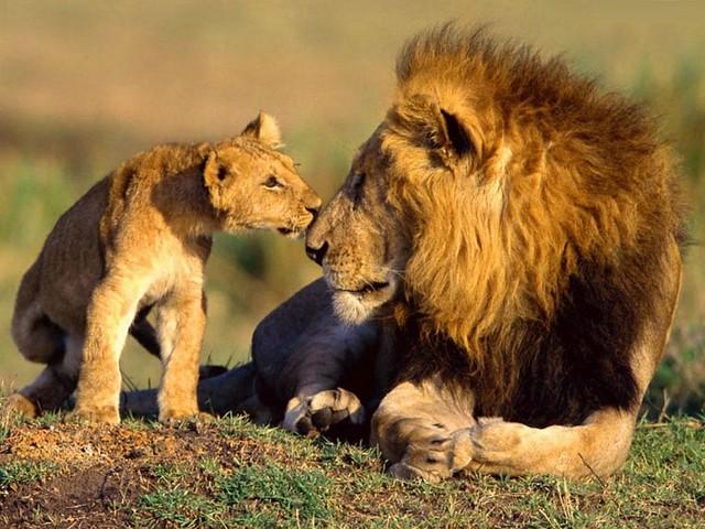 leones-diarioecologia