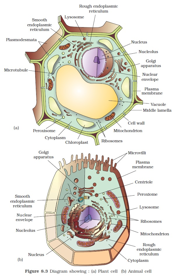 Ncert class xi biology chapter 8 the unit of life aglasem schools on the other hand animal cells have centrioles which are absent in almost all plant cells figure 83 ccuart Image collections
