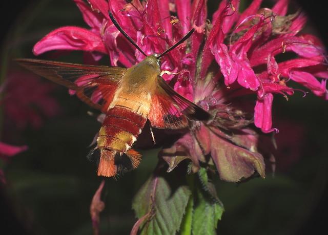 Moth Hawk DSCF1945