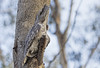 Tawny Frogmouth 2016-08-17 (60D_2933)