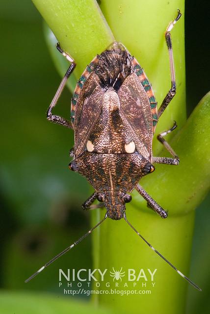 Shield Backed Bug? (Scutelleridae) - DSC_8338