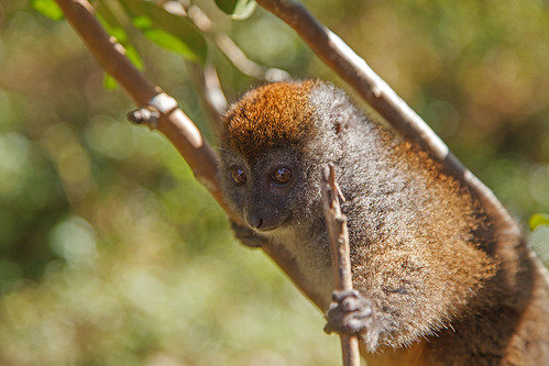 Eastern lesser bamboo lemur (Hapalemur griseus) (Grey bamboo lemur)