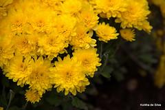 flower, yellow, macro photography, herb, wildflower, flora, chrysanths, petal,