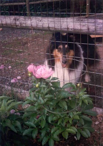 Muffin Collie-Flower