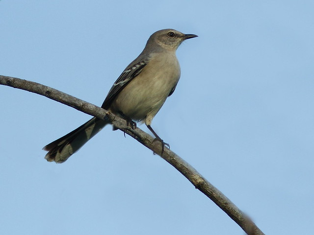 Northern Mockingbird 20121014