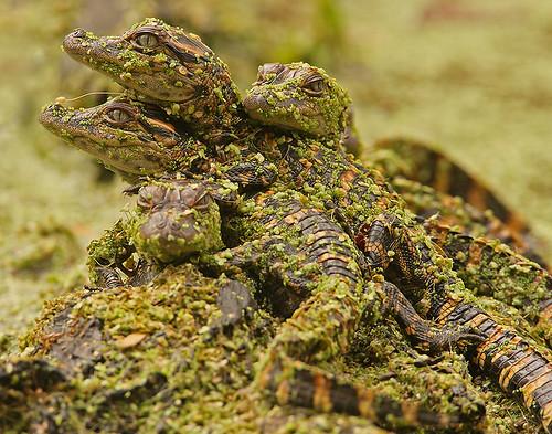 texas gator alligator brazosbend babyalligator uppertexascoast naturessuperstarbaby