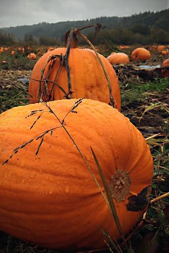 orange fall halloween farm pumpkins gourd pumpkinpatch pumpkinfarm skokomish skokomishwa unionwa hunterfarms