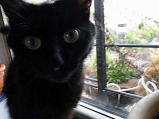 black cat  Astoria