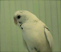 animal, parrot, wing, white, pet, fauna, parakeet, common pet parakeet, beak, bird,