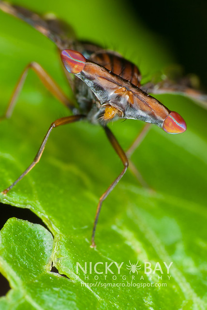 Hammerhead Fly (Richardiidae) - DSC_5331