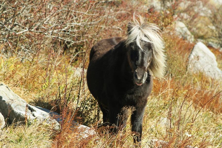 grayson_highlands_pony2