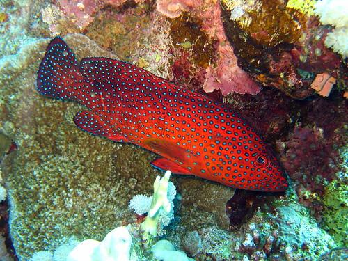 Vieille de corail de Plongez-Pépère, sur Flickr