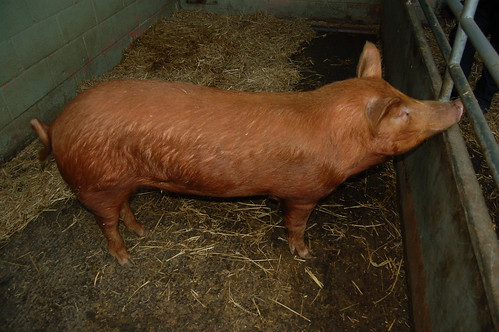 Tamworth pig Sept 12
