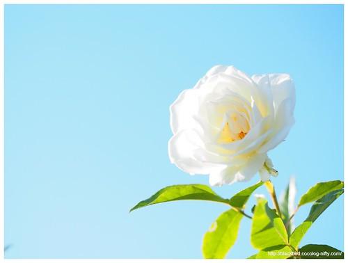 Autumn rose #02