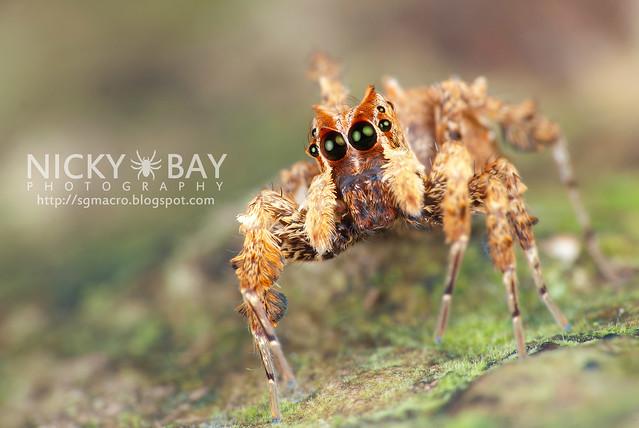 Jumping Spider (Portia sp.) - DSC_4338