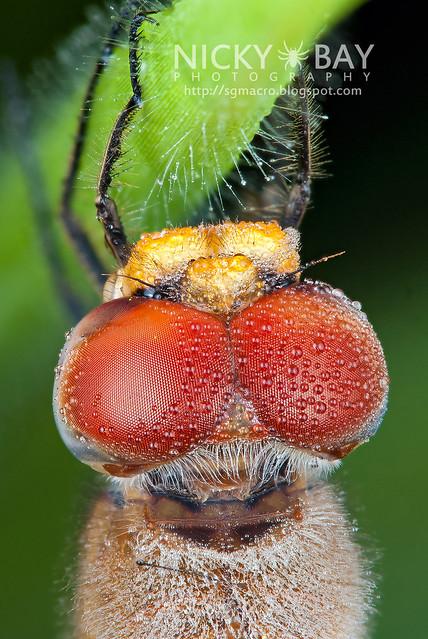 Dragonfly (Anisoptera) - DSC_4088