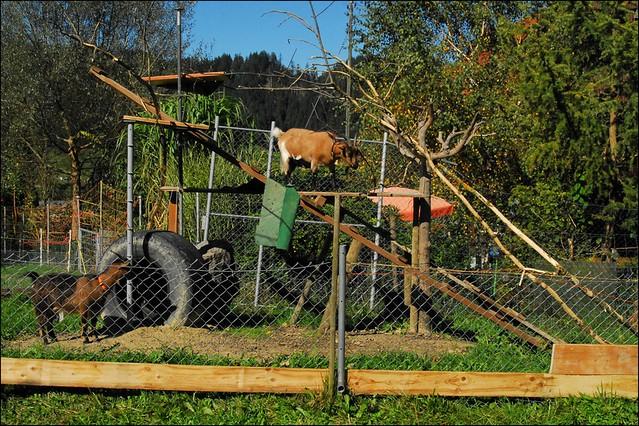 Klettergerüst Ziegen : Gute idee zum Äste füttern gesucht haltung & pflege ziegen treff.de