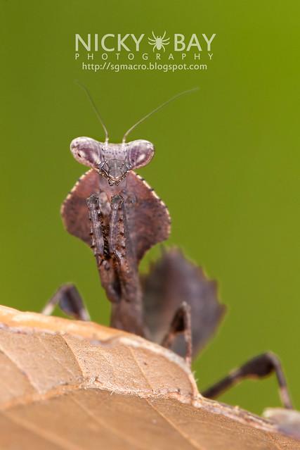 Dead Leaf Mantis? (Deroplatys sp.?) - DSC_2318