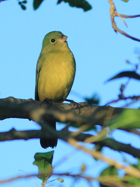 Painted Bunting female 20121020