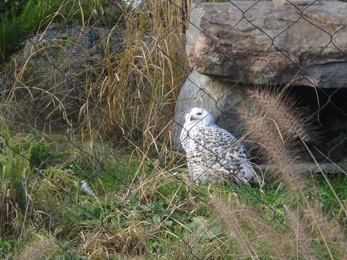 arctic owl