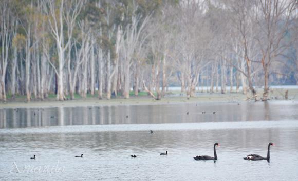 swans_3293 E