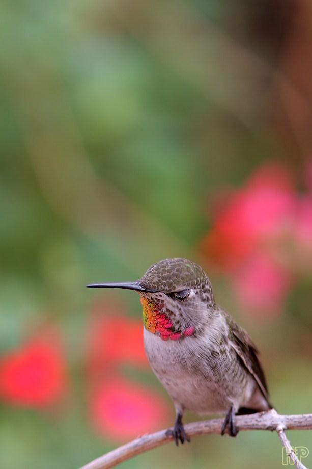 Anna's Hummingbird 102212-2