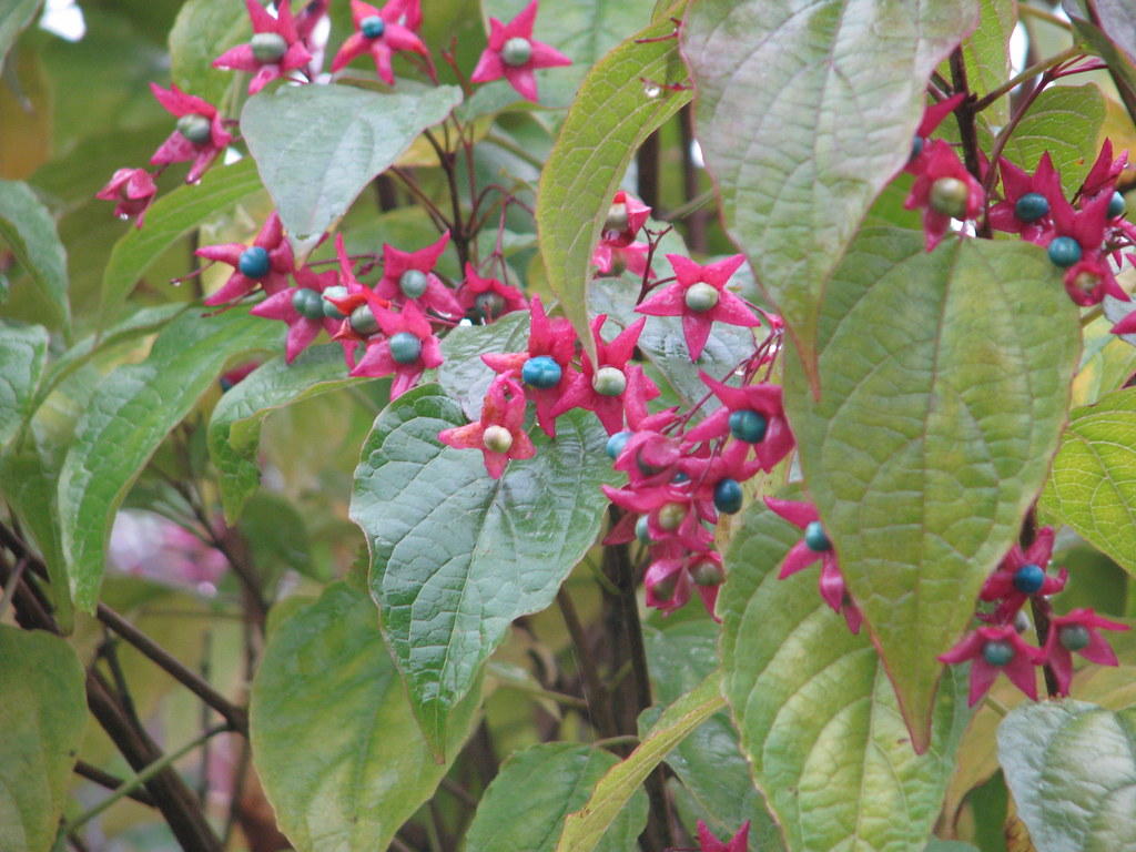 Clerodendron trichotomum fargesii