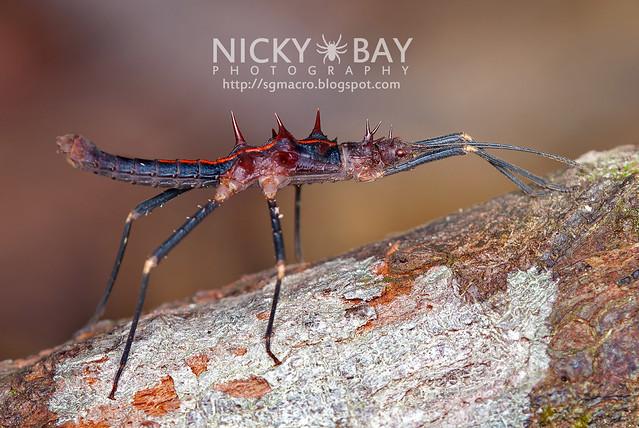 Stick Insect (Phasmatodea) - DSC_2016