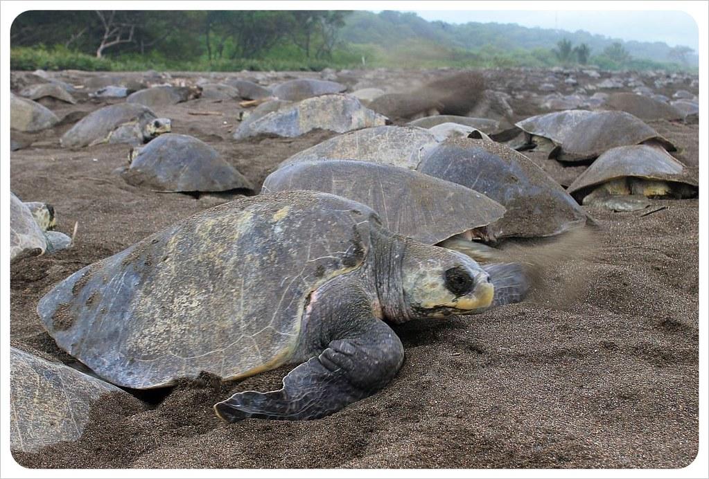 costa rica turtle arribada