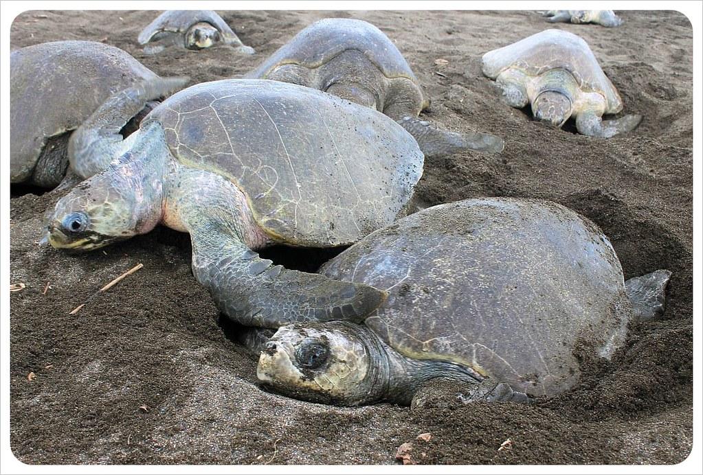 costa rica turtle arribada ostional