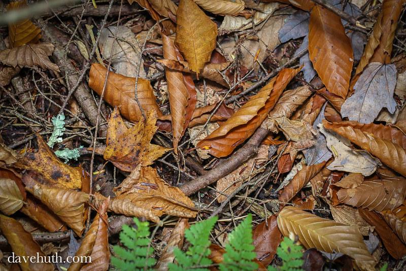 Spring Peeper (Pseudacris crucifer) - environmental camouflage
