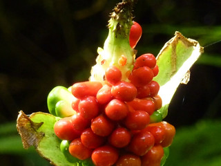 Trongsa berries