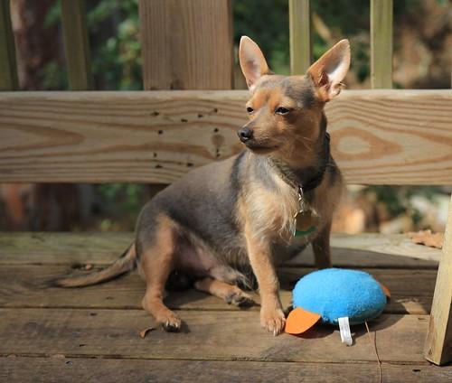 dog chihuahua yorkie chorkie designerdog tamron1750