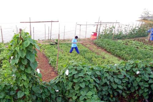 גינת ירק משפחתית על גדות המקונג