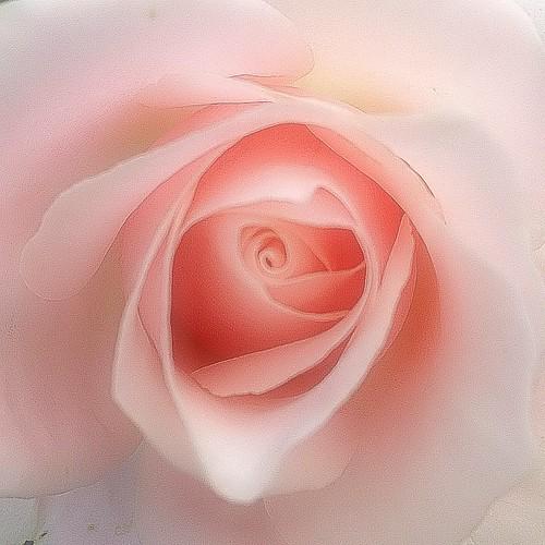 お見舞いコメント ありがとです(ꈍ◡ꈍ )  なんだかIGも 調子悪いみたいなので ここでお礼のコメントを♪  まだまだな感じだけど 明日は出勤できるかなぁ(〃ω〃)  みなさん 風邪ひかないようにね♪  #バラ #薔薇 #rose #may_rose #秋バラ祭り2012 #kokohana #hana #flower #花 #floweroftheday #insta_pick_blossoms #ザ花部 #フォトサプリ #photooftheday #iphoneography #iphoneonl