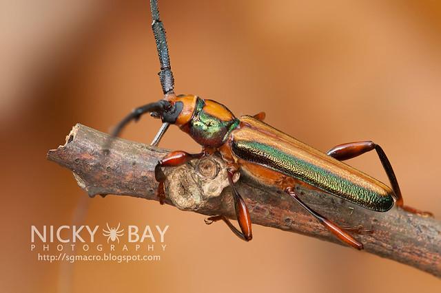 Longhorn Beetle (Xystrocera festiva) - DSC_8212