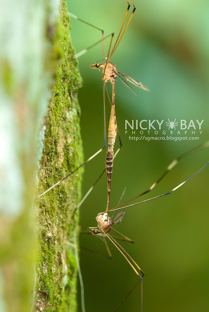 Crane Flies (Tipulidae) - DSC_7620