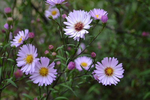 SYMPHYOTRICHUM 'Star of Chester'