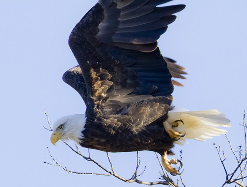 Bald Eagle by Ricky L. Jones Photography