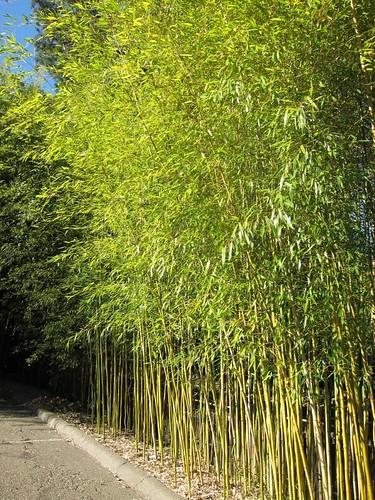 Hakone Japanese Gardens, Saratoga, CA, bamboo IMG_2268