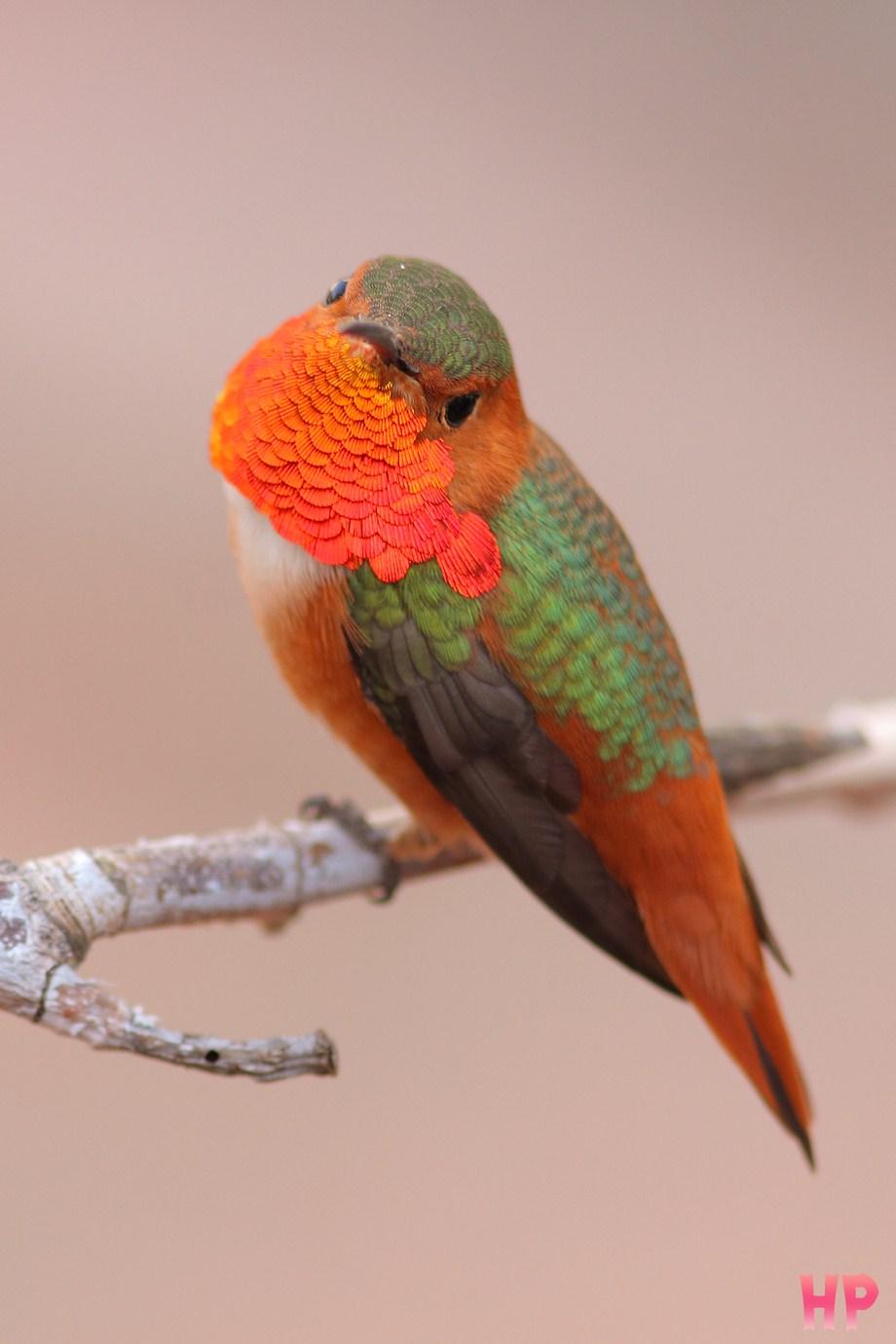 Allen's Hummingbird 010613