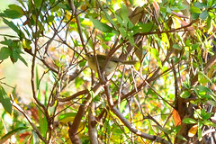 ウグイス (Japanese Bush Warbler / Nightingale)