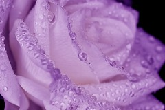 01-19-purple-rose