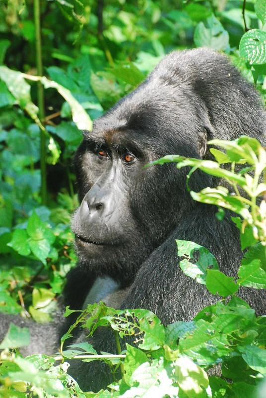 Gorilla tracking, Bwindi