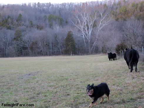 Lucky Buddy Bear, ace cattle dog (9) - FarmgirlFare.com