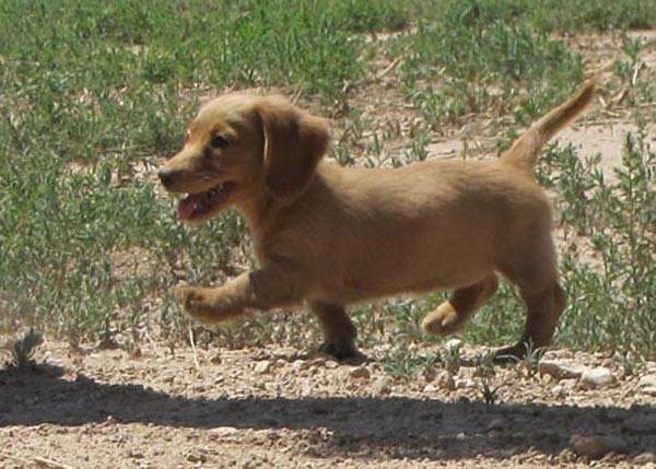 Gallery of Miniature Long Haired Dachshunds Puppies For Sale Illinois
