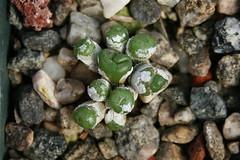 Conophytum obscurum 'clavatum'