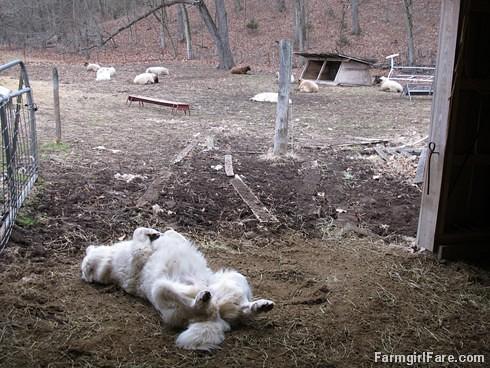 Lambing season begins! (15) - FarmgirlFare.com