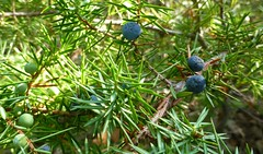 evergreen, juniper berry, berry, branch, leaf, tree, flora, green, produce, fruit, food,