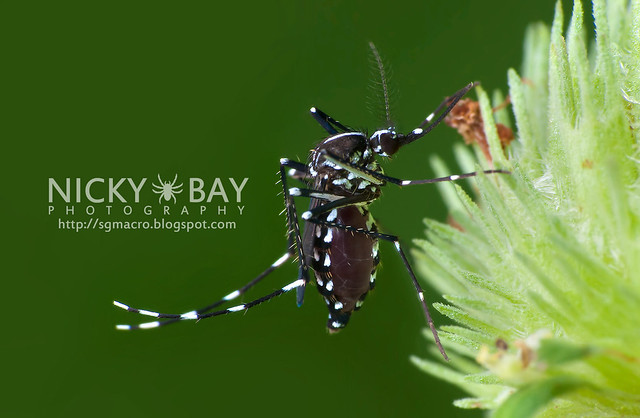 Mosquito? (Culicomorpha) - DSC_8683